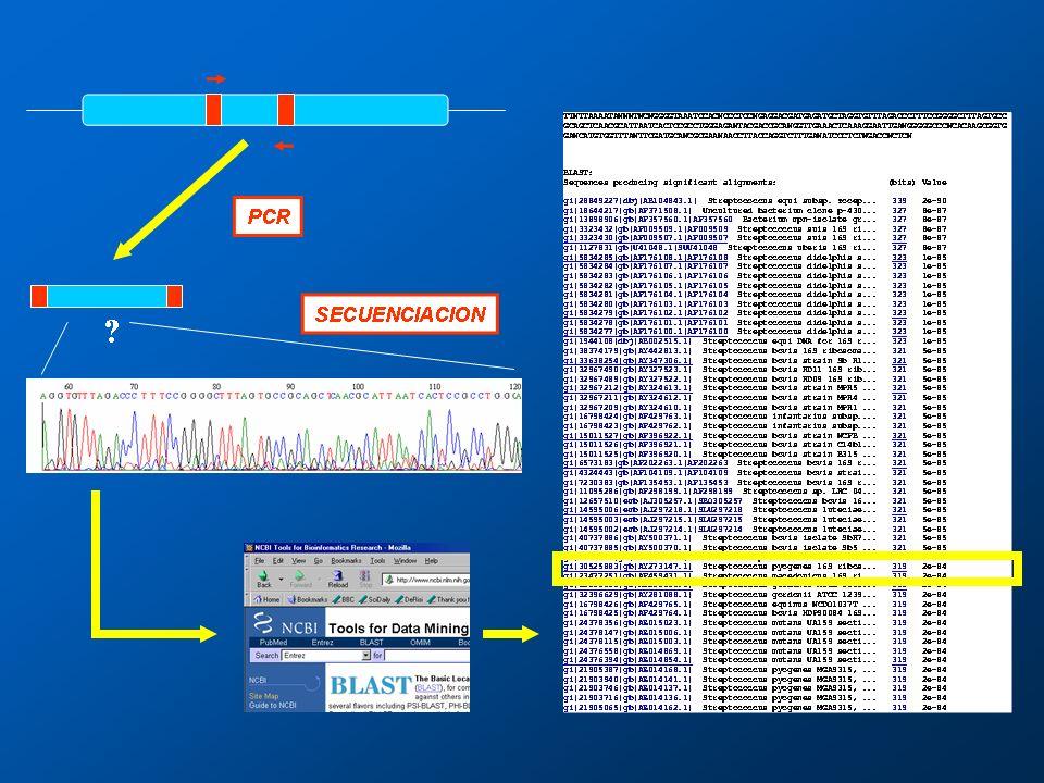 Fig. 7: PCR y secuenciación para la detección e identificación del DNA del microorganismo. (Laboratorio de Biología Molecular. Universidad de La Laguna)